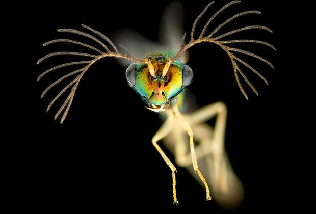 Самец осы с Фиджи. Аделаида, Австралия.