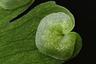 Спорангий папоротника Adiantum capillus-veneris, в котором формируются споры. Провинция Гуандун, Китай.