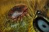 Клещ Varroa destructor на медоносной пчеле Apis mellifera. Остров Реюньон, Франция .