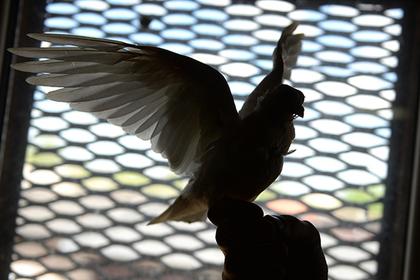 Петербургские чиновники устроили массовое убийство редких голубей для отчетности