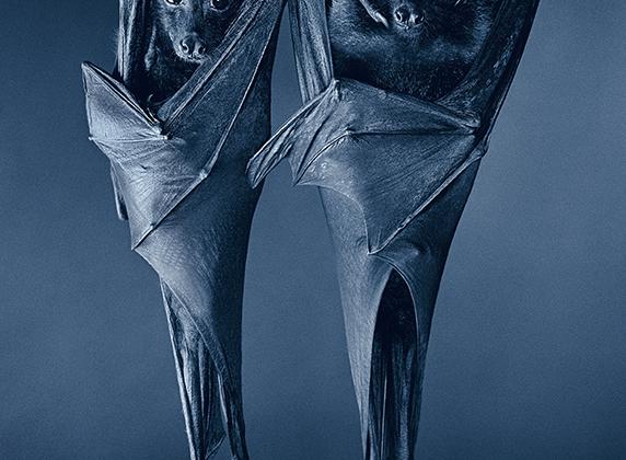 «В популярной культуре есть расклад: Хорошая Летучая мышь — Плохая Летучая мышь. Супергерой Бэтмэн, который в обличье летучей мыши внушает страх криминальному миру — против кровососущего вампира Графа Дракулы».
