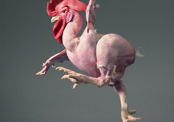 «Вам, наверное, интересно: неужели я ощипал курицу? Я вас уверяю, конечно, нет! На самом деле, это курица-мутант».