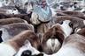 Одед Вагенштейн запечатлел молодую девушку — жительницу Ямала, которая собрала вокруг себя оленей перед их миграцией. Чтобы добраться до нужного места, фотографу потребовался перелет, шестидесятичасовая поездка на поезде из Москвы и семичасовая переправа через замерзшую реку.  <br> <br>  По словам автора снимка, в отдаленном поселке Яр-Сале на севере Сибири живет группа пожилых женщин. Когда-то они были частью кочевой общины оленеводов. Однако в старости они проводят большую часть своих дней в уединении, изолированные от остального мира. И хотя мужчины обычно предлагают им оставаться в общине, женщины часто остаются в старости в одиночестве.