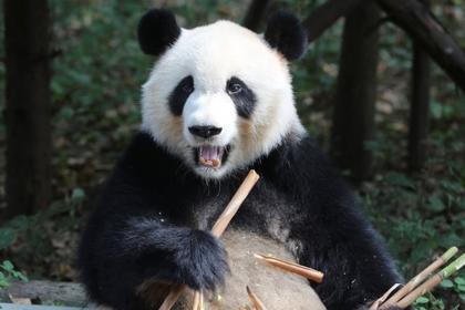 Туристам в Китае запретили беспокоить панд