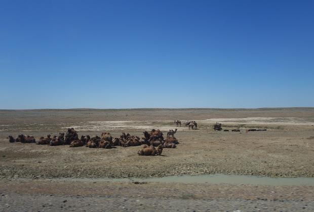 Немногочисленные стада верблюдов встречаются неподалеку от Аральска, но затем исчезают и они.