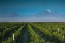 И все-таки, когда мы думаем об Армении, первым делом вспоминается скороговорка: на горе Арарат растет крупный виноград. Это неспроста. В Библии описано, как после спасения всего живого на ковчеге, Ной, причаливший у Арарата, стал заниматься именно виноградарством. Праотец делал вино и даже пострадал, будучи в нетрезвом виде высмеянным своим отпрыском — Хамом, имя которого стало нарицательным. Сегодня виноделие Армении, уходящее своими корнями в древность, находится в стадии активного возрождения. Виноградники Армавир — тому яркое доказательство. С них начинается производство продукции, ставшей визитной карточкой страны.