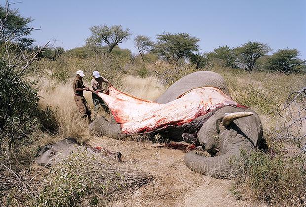 Охотнику помогают снимать кожу с убитого в Намибии слона. Помимо кожи, он заберет с собой бивни и другие ценные части животного. Намибия ограничивает трофейную охоту на слонов пятью особями в год (речь идет о легальной охоте, без учета многочисленных браконьеров). За то, чтобы поохотиться в Намибии официально, охотники платят деньги. Часть из них идет на проекты по сохранению и защите дикой природы. <br> <br> Британский фотограф Дэвид Канцлер обращает внимание на парадокс: убивающие животных люди считают себя натуралистами и защитниками природы, поскольку взимаемые с них сборы направляются на защиту живой природы. «Любой человек в США, чей морозильник до краев заполнен олениной, скорее всего, скажет вам, что добыть себе ужин в дикой природе более гуманно, чем покупка пластмассового мяса из промышленно выращенного домашнего скота», — уверен фотограф.