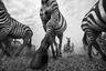 Миграция — огромная угроза для зебр и гну. Помимо хищников, им угрожают браконьеры и болезни. Наибольшую опасность для них представляет прохождение реки Мара, в которой водятся крокодилы. В ходе переправы животные ломают себе ноги из-за неровного дна и теряют детенышей. Хищники поджидают их тут как тут.