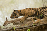 Молодой и неопытный тигренок пытается охотиться на пятнистого оленя в индийском Национальном парке Рантамбор. Но олень оказался слишком большим и матерым для начинающего охотника. Фотограф запечатлел момент, когда маленький тигр изо всех сил пытается не дать добыче ускользнуть.