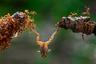 Сплоченные муравьи пытаются одолеть лягушку. Совместная работа — это сила, с помощью которой можно достичь замечательных результатов, отмечает автор снимка.
