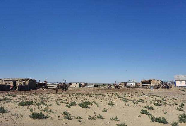 Верблюд —наиболее часто встречающееся в этих краях домашнее животное, но и корабли пустыни выглядят в Аралкуме не лучшим образом: худые и облезлые.