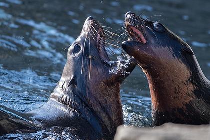Полсотни злых тюленей загнали рыбака на скалу