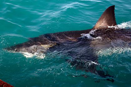 Укушенный серфер избил доской большую белую акулу
