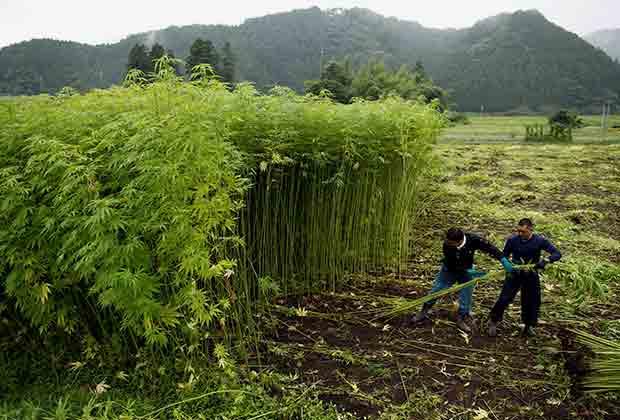 Японские фермеры на крупнейшей плантации каннабиса в префектуре Тотиги