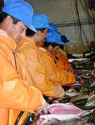 Рабочие из КНДР не только подметают улицы и заняты в строительстве, но и работают на рыбоперерабатывающих заводах. Например, на предприятии «Тунайча» на Сахалине.