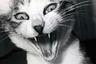 Спустя 10 дней Саскэ сбежал от него. Фотограф развесил больше сотни объявлений о пропаже котенка, но тот так и не вернулся. Через несколько недель ему по объявлению позвонила женщина, заявив, что нашла очень похожего кота. Это оказался не Саскэ, но Фукасэ все равно забрал его, назвав Саскэ №2 — в надежде, что второй котенок унаследует дух «оригинала».