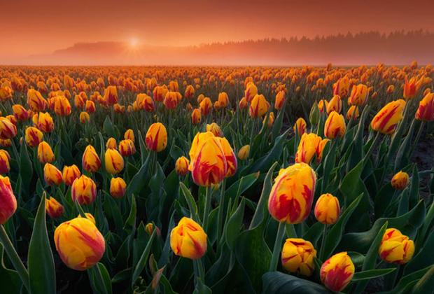 Цветной ковер тюльпановых полей в Нидерландах от Альберта Дроса.