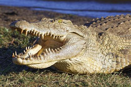Австралийские крокодилы переплыли море и съели десятки иностранцев