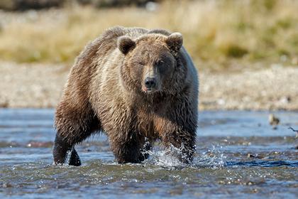 Медведь задрал женщину с младенцем и погиб от пули ее мужа