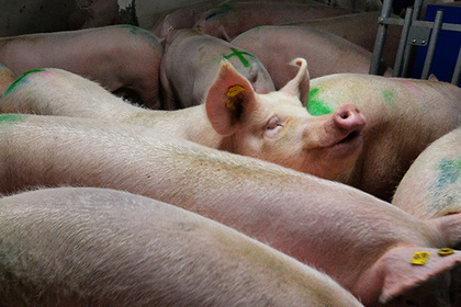 Подмосковье вышло на самообеспечение свининой и птицей