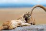 Фотограф заметил прайд львов на одной из вершин национального парка Серенгети в Танзании. Он приблизился к скалам и увидел семью львов с довольно большим потомством. «Самым лучшим стал момент, когда трое детенышей начали играть и кусать мамин хвост, как котята, играющие с пряжей. Я не помню, что когда-либо смеялся так сильно!» — вспоминает Ярон Шмид.