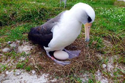 Самый старый альбатрос в мире снес яйцо в 68 лет
