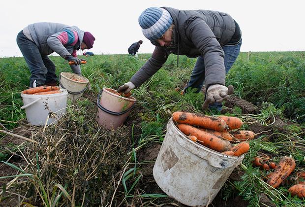 Безработные горожане убирают урожай в одном из частных сельхозпредприятий Минской области