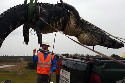 Гигантский аллигатор проплыл среди водолазов и был пойман
