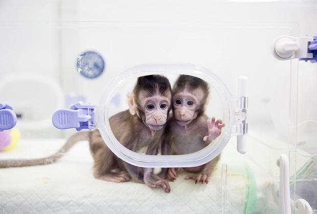 В январе китайские исследователи представили миру клонированных детенышей макак. Генетические копии обезьян были созданы по методу овечки Долли. Эти первые в истории клонированные приматы получили клички Zhong Zhong и Hua Hua.