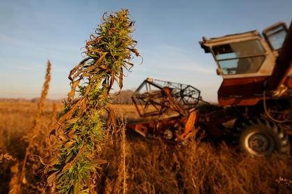 В России разрешили выращивать наркотики