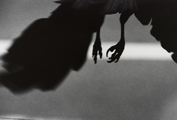 Серия «Вороны» (множественное от «ворон», а не «ворона») в оригинале называется «Одиночество ворона» — и именно эти монохромные, мрачные снимки принесли Фукасэ репутацию радикального фотографа. Фукасэ использовал птицу как метафору своего одиночества. Позже, в 1982 году, он даже говорил, что сам «стал вороном». Спустя несколько десятков лет альбом «Вороны» признали лучшей фотокнигой всех времен. Для фотографа серия символизировала отчаяние, в которое он впал после развода с женой. Ее звали Ёко, и с ней Фукасэ прожил 12 лет, посвятив ей большой альбом, названный ее именем. В японской мифологии ворон — существо, несущее разрушение, предзнаменование беспокойных, тревожных времен. Фукасэ часто возвращался к знакомому мотиву в поздние годы своей слишком рано оборвавшейся карьеры.