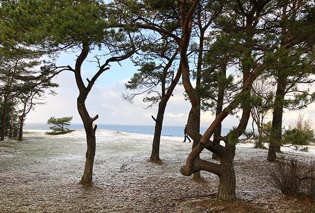 Весь берег моря в заповеднике Клиф Панга зарос сосновым лесом, который вполне можно назвать танцующим —деревья из-за постоянных ветров растут совершенно причудливым образом.