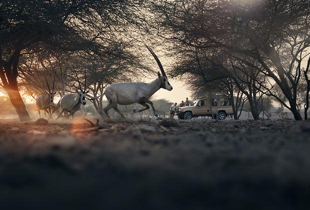 Арабский парк дикой природы находится на острове Сир-Бани-Яс и занимает более половины его площади. В парке содержится свыше 10 000 животных. Благодаря специальным платформам, изготовленным исключительно из переработанного сырья, посетители заповедника могут заглянуть в глаза диким животным.