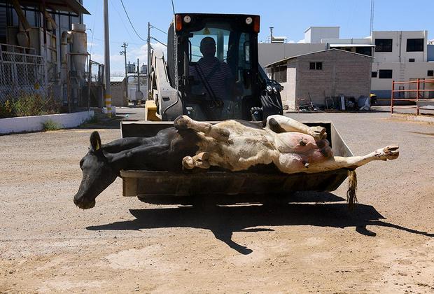 Мучения начинаются еще по дороге на скотобойню. Часто коров вынуждают слишком долго стоять на ногах и терпеть громкий шум и тряску.