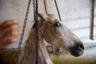 Этот конь, которого привезли на бойню в Арриаге, не смог войти в загон, где животных оглушают электротоком перед забоем. Тогда его подвесили на цепи, наброшенной на шею. Он несколько минут задыхался, пока наконец не умер от удушья.