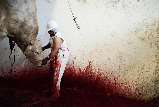 После выстрела в голову из пистолета с выдвигающимся стержнем коров подвешивают и перерезают им горло. Некоторые животные в этот момент еще живы.