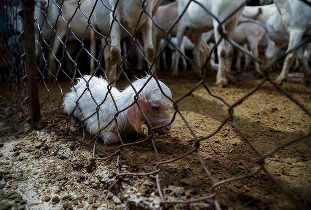 Коз оглушают перед забоем только на скотобойнях, которые специализируются на этих животных. В других местах им просто перерезают горло и оставляют умирать. Козы долго и мучительно истекают кровью, корчась на окровавленном полу.
