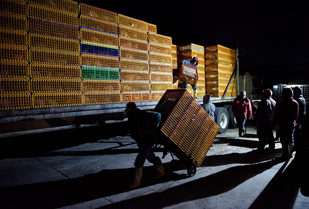 В каждом из этих ящиков сидит от 10 до 14 живых куриц. Рабочие на скотобойне в городе Толука-де-Лердо, штат Мехико, бесцеремонно разгружают их, не заботясь о благополучии птиц.