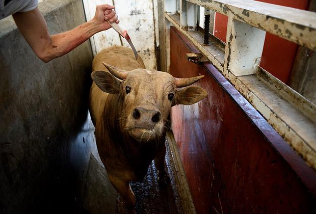 Когда такого пистолета нет, в ход идут другие методы. На этой скотобойне в Халиско коров обездвиживают ударом ножа по позвоночнику. Повредить спинной мозг с первого раза часто не удается, поэтому рабочие продолжают бить животных ножом, пока те не упадут, после чего отправляют их на забой. Хотя корова не может двигаться, она до самого конца не теряет сознание.