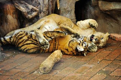 Тиграм предрекли скорое исчезновение