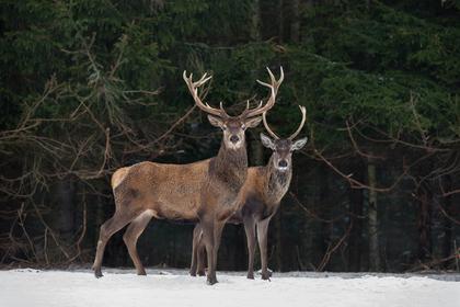 Столетняя охотница одним выстрелом убила двух оленей
