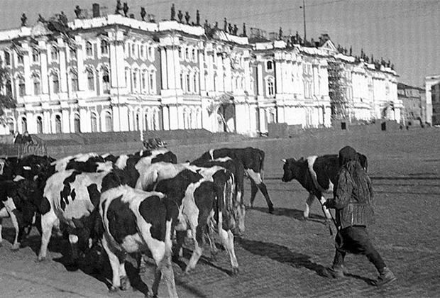 Крупный рогатый скот на Дворцовой площади. Ленинград, осень 1941 г.