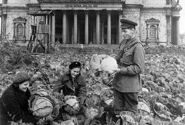 Сбор урожая капусты на огороде у Исаакиевского собора. Сентябрь 1942 г.