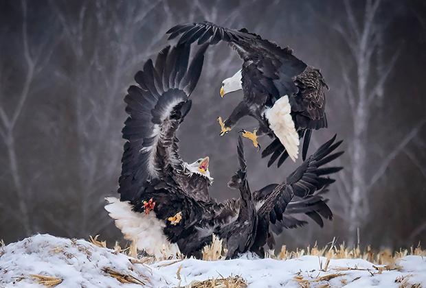 «Фотографы со всего мира собираются в городке Шеффилд Миллс, что в канадской провинции Новая Шотландия, ради ежегодной фотоохоты Eagle Watch. Орлы заполоняют деревья вокруг поля, на котором разбрасывают мертвых цыплят, умерших ночью в соседних инкубаторах. Орлы отличаются невероятным терпением и ждут до тех пор, пока чайки и вороны не начнут таскать их обед. Тогда несколько орлов начинают летать над полем, отгоняя непрошеных гостей.   Затем остальные орлы срываются с веток и начинают хватать добычу. Иногда это приводит к конфликтам. На фото запечатлены два белоголовых орлана, сражающихся за пищу. Одна птица уже схватила цыпленка, как вдруг ее атаковал другой орел. Такие кадры стоят того, чтобы ждать часами на пролет на открытом воздухе при температуре минус 10 градусов по Цельсию», —рассказывает автор фотографии Сэнди Литтл.