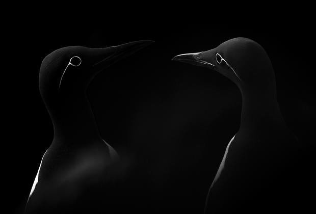 «Лицом к лицу» — фотография испанца Мануэля Энрике Гонсалеса Кармона. Фотография сделана на островах Солти, которые также иногда называют Солеными островами. Архипелаг принадлежит Ирландии и представляет собой рай для орнитологов. Фотограф постарался создать минималистичный кадр, в котором ничто не отвлекало бы нас от птицы. Единственная особь тонкоклювой кайры, благодаря двойной экспозиции, изображена на одной фотографии дважды с разных ракурсов.