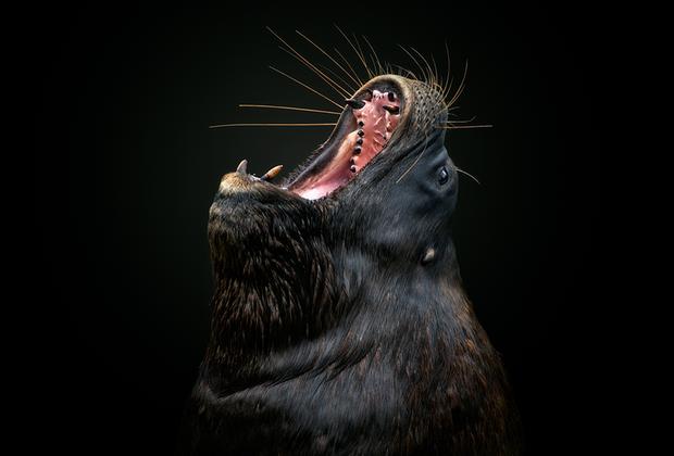 Морской лев широко раскрывает свою пасть на фотографии «Агония и экстаз» перуанца Петро Харке Кребса. Категория «Живой мир и дикая природа».