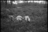 Тела расстрелянных красноармейцев. Украина, 1941 год.