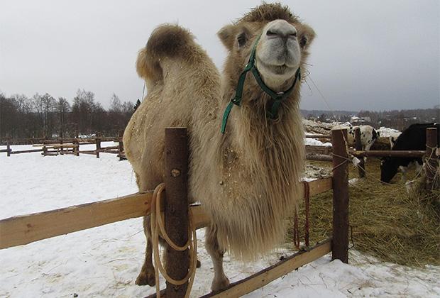 Верблюдица Соня пока привыкает к новой жизни, но в приюте ей уже нравится