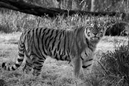 Три тигра сцепились насмерть на глазах у работников зоопарка