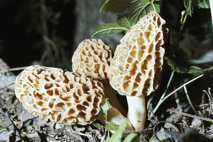 Morchella mushrooms